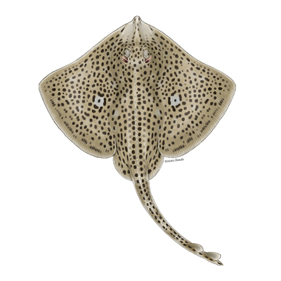 Spotted ray by Marc Dando
