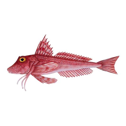 Red Gurnard, Cornwall Good Seafood Guide