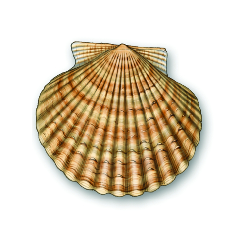 Queen scallops, Cornwall Good Seafood Guide