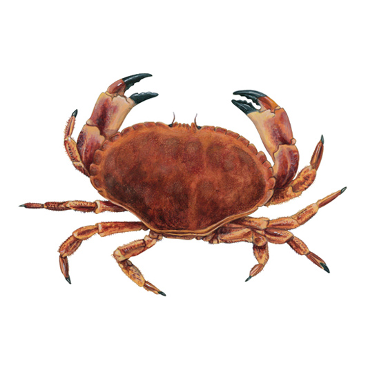 Crab, Brown