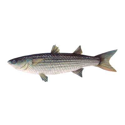 Grey mullet, Cornwall Good Seafood Guide