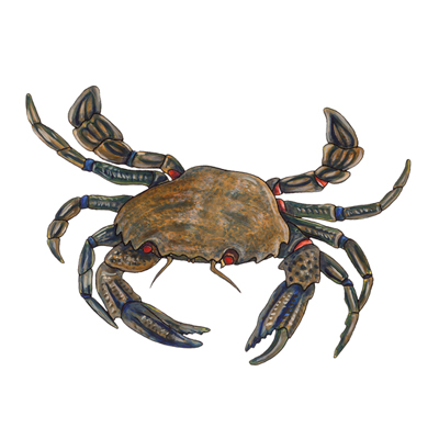 Velvet crab by Sarah McCartney